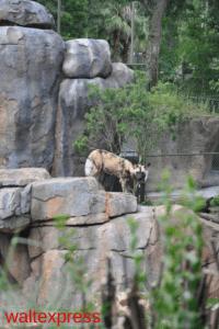 Disney-World-Animal-Kingdom-Kilimanjaro-Safaris